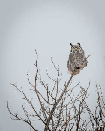 Great Horned own perched on bare tree top looking at camera, alberta bird photography