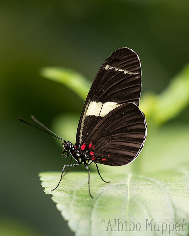 black butterfly standing on green leaf
