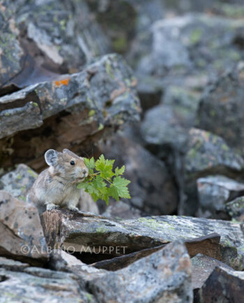pika on rocks holding a branch with green leaves in its mouth, Canadian wilderness scene