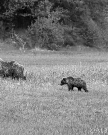 Side profile Three Grizzly bears walking in grass, Wildlife photography