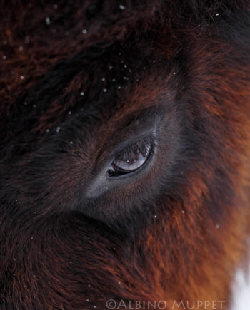 close up of Bison eye with red and black hair and snowflakes, Wilderness photography