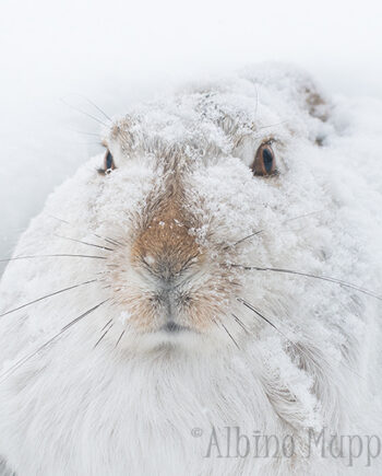 Close up of Jackrabbit covered in snow with snowy background, Alberta Wildlife