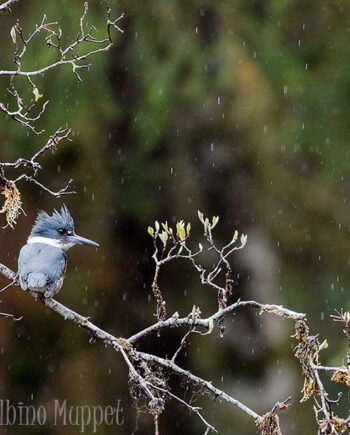 Belted Kingfisher on tree branch in the rain