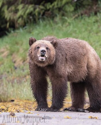 grizzly bear standing in sand smiling with teeth, Canadian wilderness scene