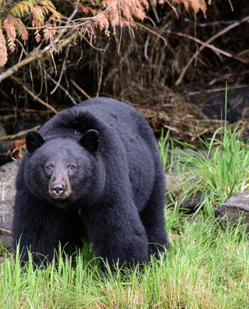 large black bear standing in grass with rocks and trees in background, canadian wildlife scene