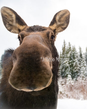 close up of moose nose and face with snowy background, canadian wildlife