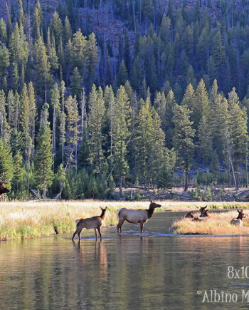 Bull elk and herd in tall grass with water and trees, Yellowstone National Park wildlife scene