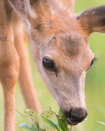 young deer fawn eating leaves with green background, canadian wilderness scene