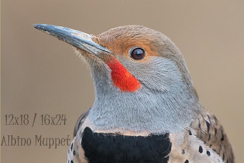 Head and shoulder portrait of Northern Flicker on brown background, Alberta bird scene