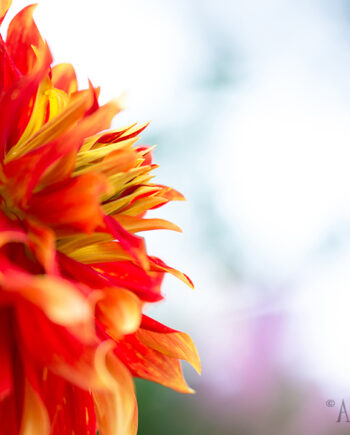 Side view of large red orange and yellow flower