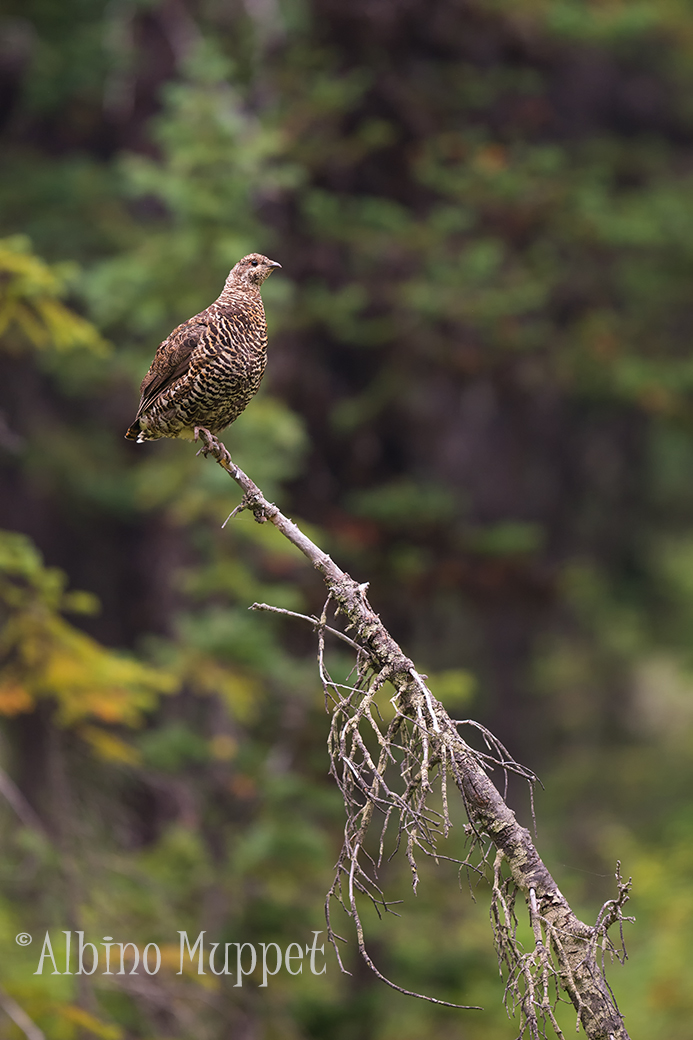 Grouse perched on dead tree with green forest background, Canadian wildlife scene
