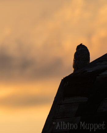 Silhouette of Great Horned Owl sitting on barn with orange sky sunset, alberta bird wildlife