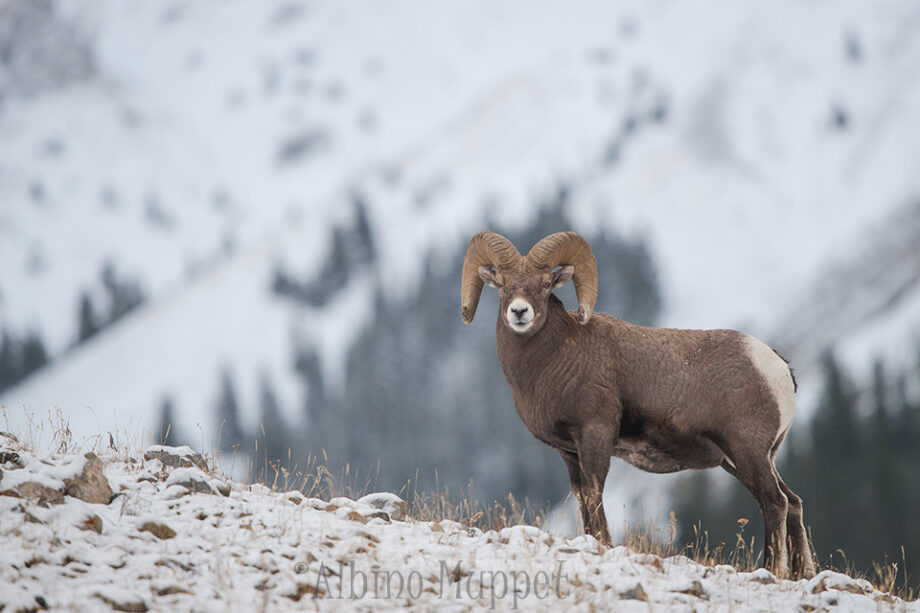Bighorn ram on snow covered ridge with snow moutains in background, canadian wilderness scene