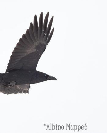Raven flying on white background, alberta birds