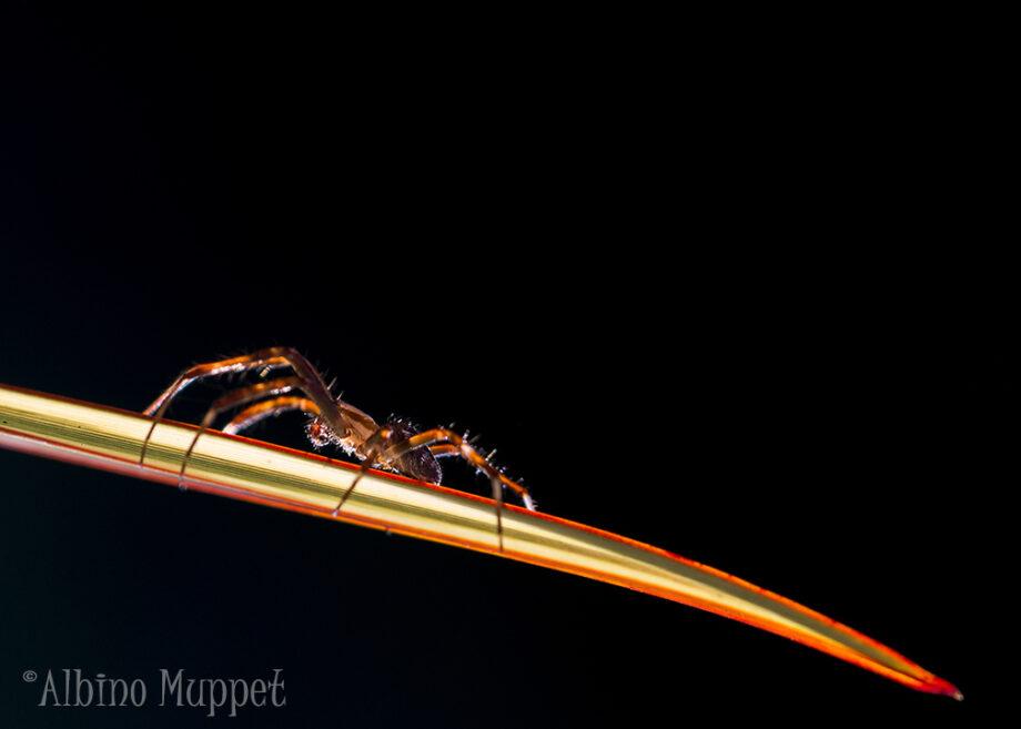 side profile of spider walking on long leaf with black background