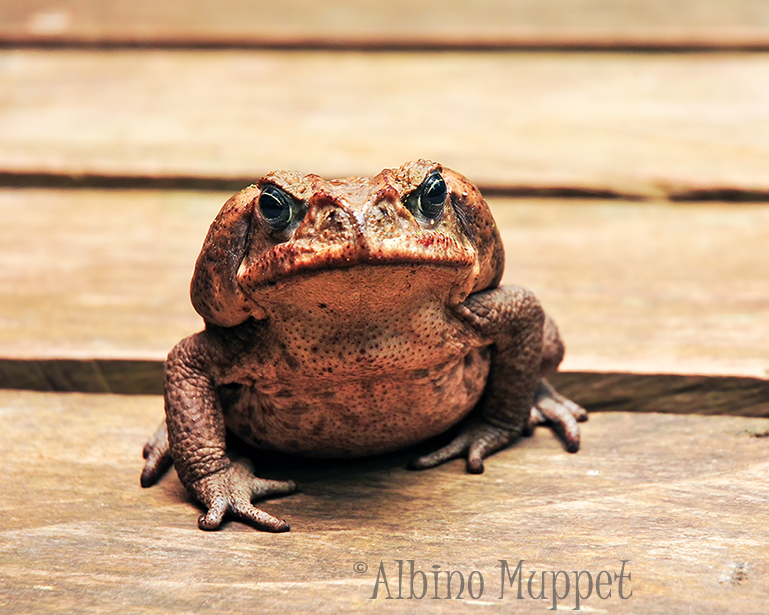 large toad with black and blue eyes sitting on wooden boardwalk, Guatemala wildlife