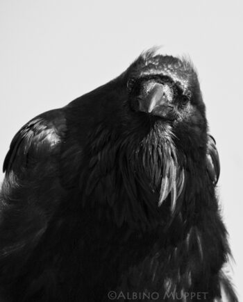 head on portrait of raven looking into camera, black and white photo, canadian wildlife