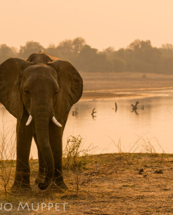 Standing wild elephant at river edge with peach orange sunset in background, Africa wildlife scene