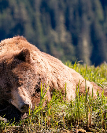 Large Grizzly bear sleeping in grass with head rested on arm