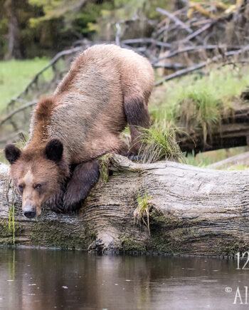 grizzly bear kneeling down on large log beside the water, canadian wildlife scenery