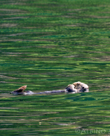 Otter floating in water with green reflections, wildlife scene