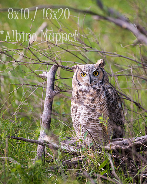 Great Horned owl on the ground with branches and grass, Alberta wildlife