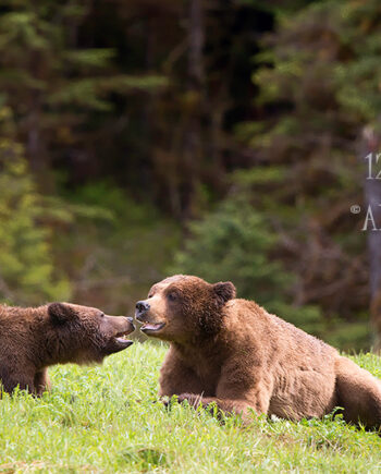 Two grizzly bears laying down facing each other with mouths open, canadian wildlife scene