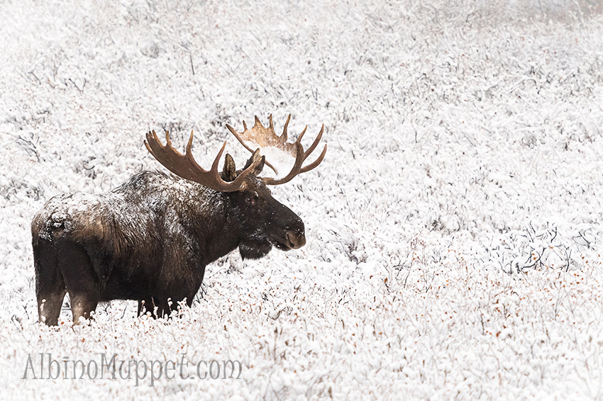 Large Bull Moose covered in snow standing in field, Canadian wildlife