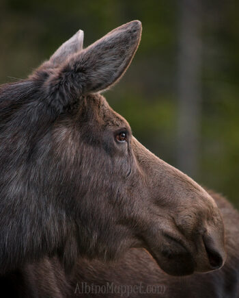 profile of cow moose head at sunrise, canadian wildlife scene