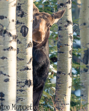 Cow moose peeking out from behind birch tree in forest, Canadian wildlife
