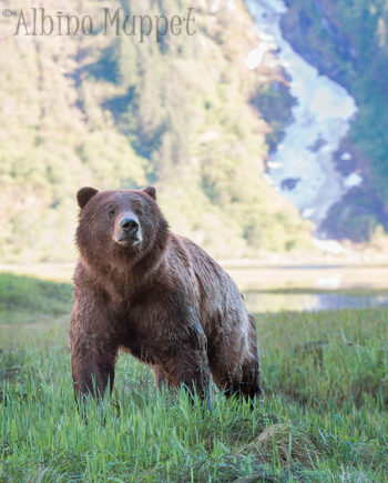 Wet Grizzly bear standing in grass with sunny background, Canadian Wildlife