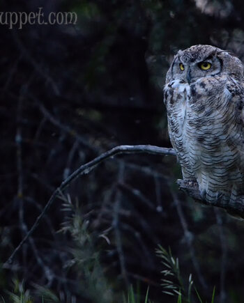 Great Horned Owl on branch at sunset with dark forest background, Canadian wildlife