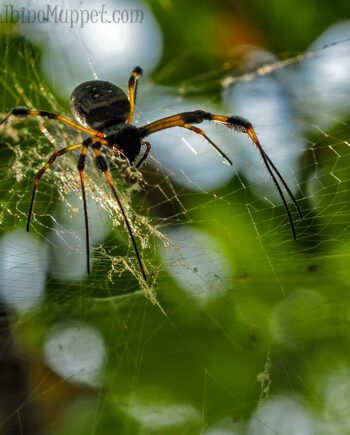 Large yellow and black spider crawling on web towards camera, Belize insects
