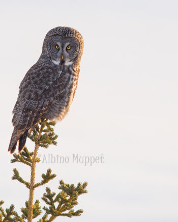 Great Gray Owl with golden sun light on feathers perched on tree top, Canadian Wildlife