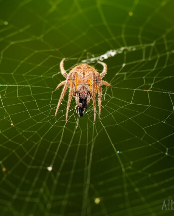 Orange and brown spider on web with green background, belize insect