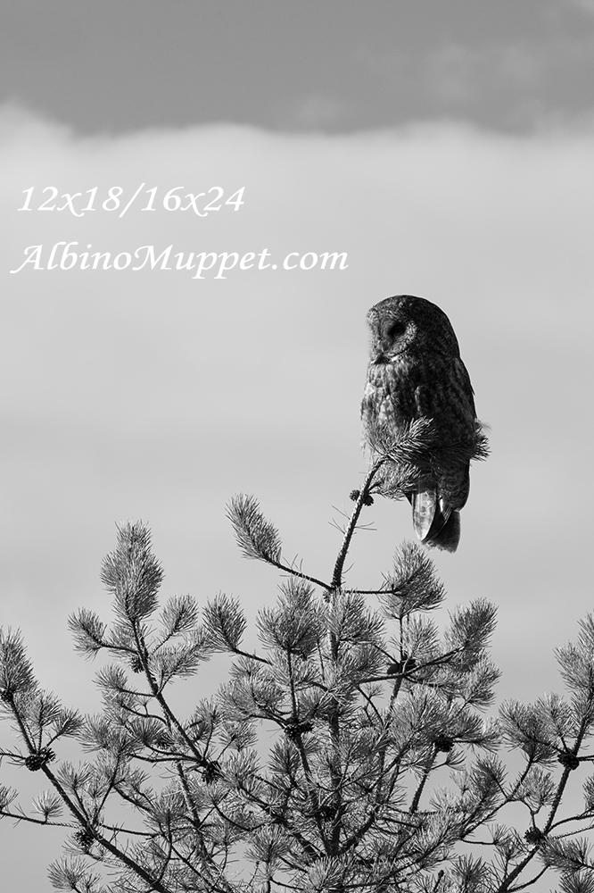Great Gray Owl sleeping on tree top, Banff National Park
