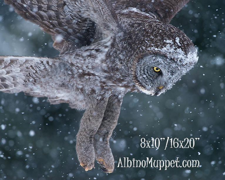 Great Gray Owl flying in snow storm with legs and talons visible