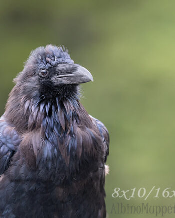 portrait of Raven with plumage on green background