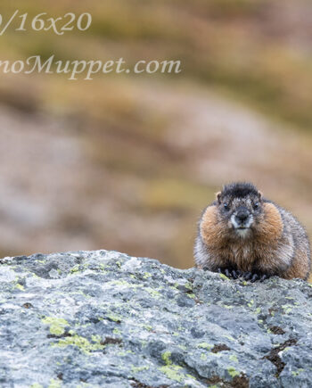 canadian small animal, baby marmot with chubby cheeks sitting on rock