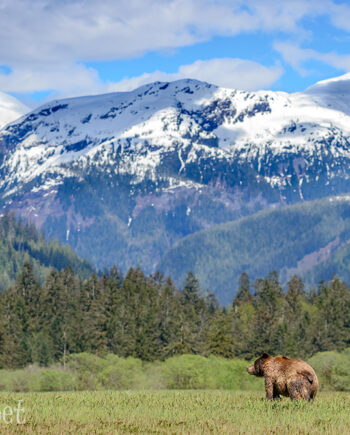 Canadian wildlife scene, Grizzly bear in grass with mountains in background
