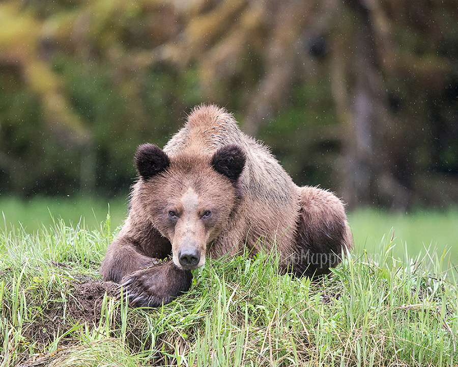 Grizzly Bear laying down in the rain, canadian wildlife