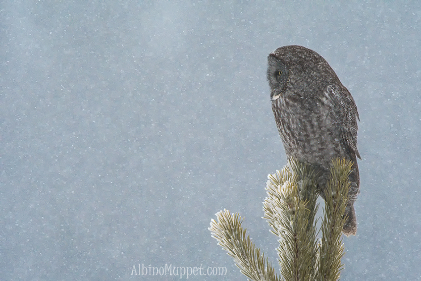 Great Gray Owl on tree top in snow storm