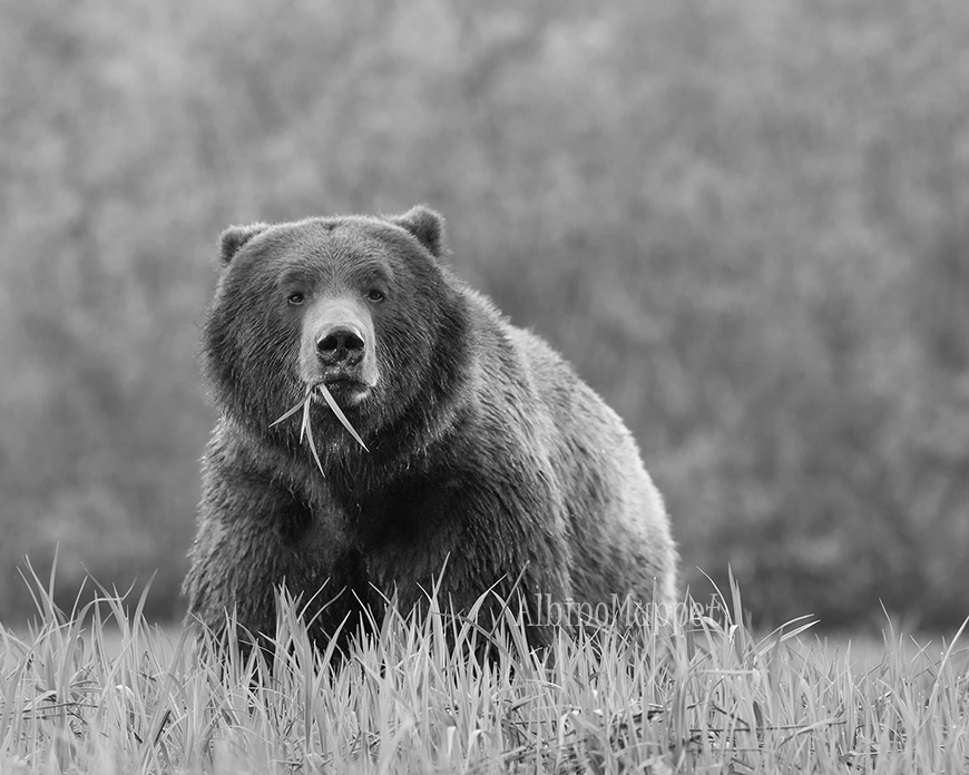 Large Grizzly standing in grass looking head on