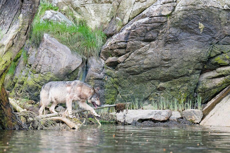 Canadian Wildlife, Gray Coastal Wolf at edge of water