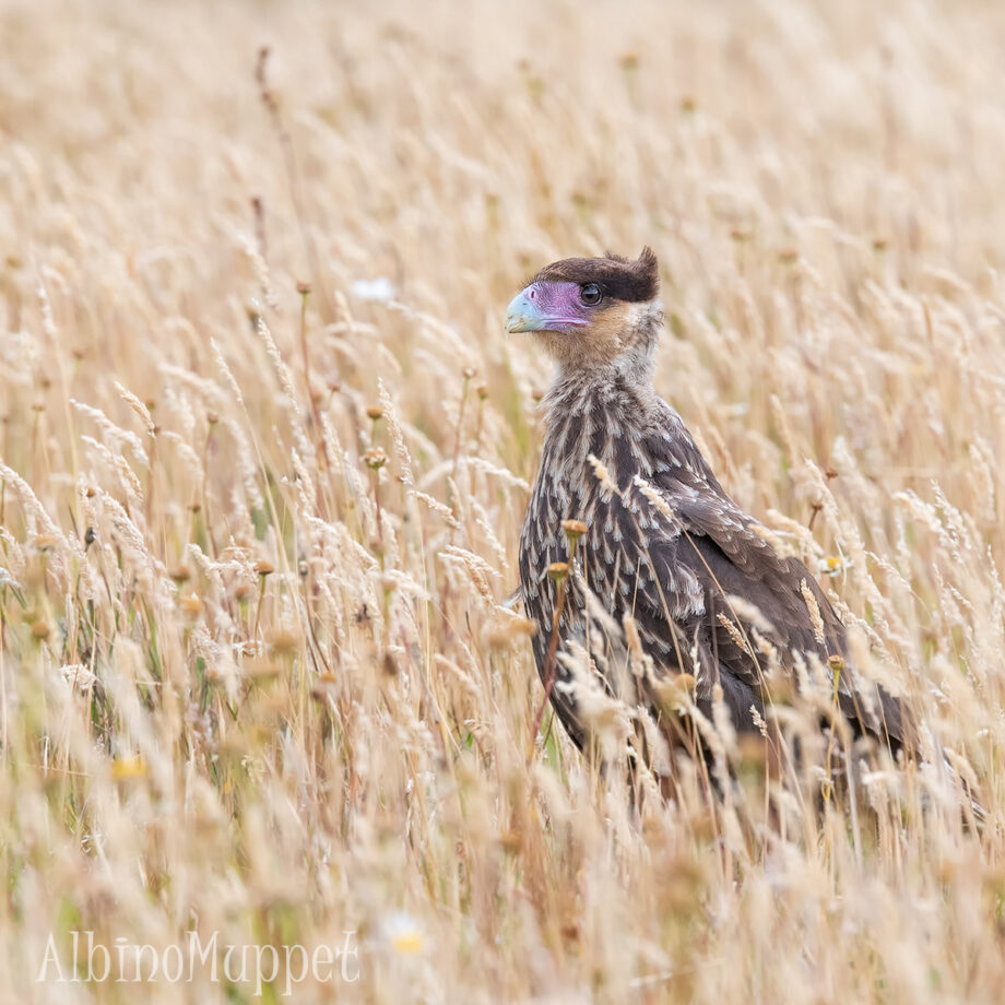 Chile Wildlife, Crested Caracara bird in long grass