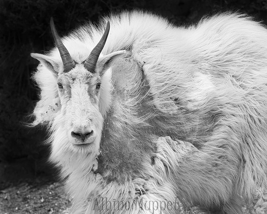 Mountain Goat close up, Jasper National Park
