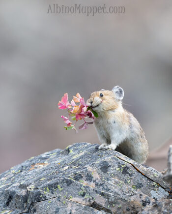 Pika with Pink flower in mouth, Alberta, Canadian wildlife