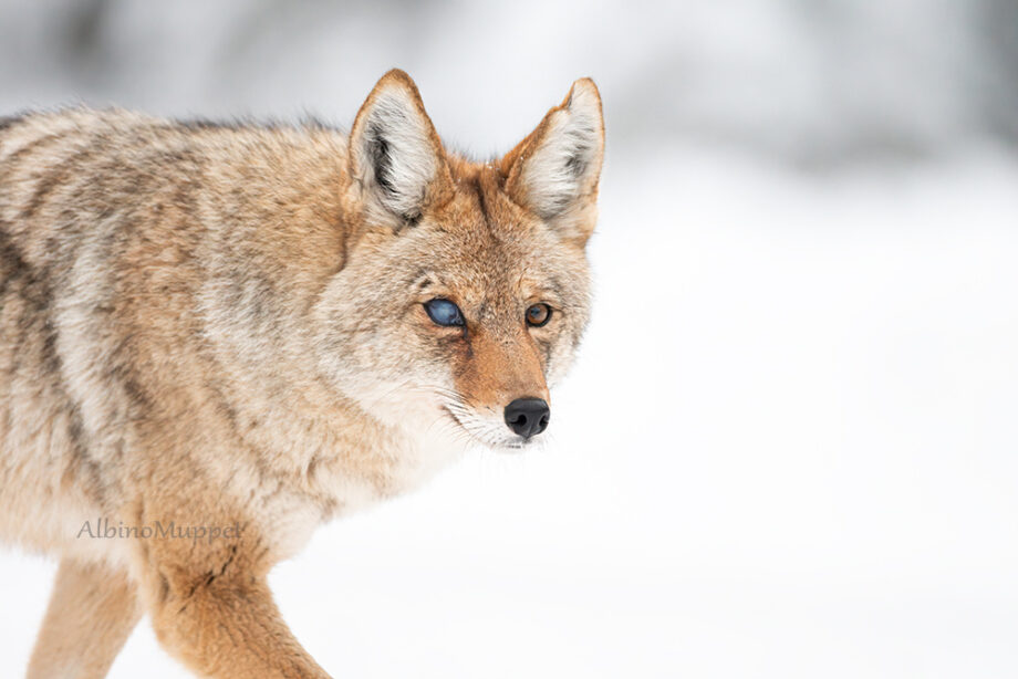 Coyote with damaged eye staring at the camera in a winter setting