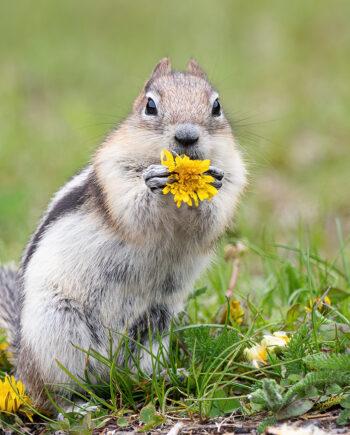 squirrel holding dandelion up